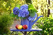 Watering of blue hydrangeas and apples on small table in the garden