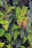 Blechnum ferns in autumn - Chilean Patagonia