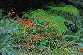 Crocosmia and Lophosoria fern leaf in Chilean Patagonia