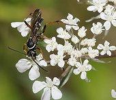 Céropale tacheté sur fleurs blanches - Vosges du Nord France