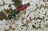 Ruby-tailled Wasp on white flowers - Northern Vosges France