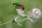Ruby-tailled Wasp on Clover flowers - Northern Vosges France
