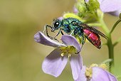 Ruby-tailled Wasp on Bittercress flower - Northern Vosges