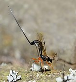 Giant Ichneumon female laying eggs - Northern Vosges France