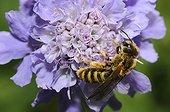 Minig bee on Scabieusa flower - Northern Vosges