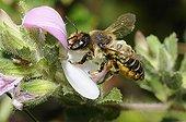 Leaf-cutting bee on Restharrow flower-Northern Vosges France