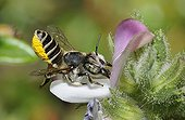 Leaf-cutting bee on Restharrow flower-Northern Vosges France