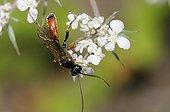 Ichneumon wasp on flowers - Northern Vosges France