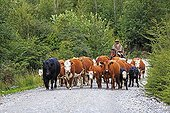 Gaucho on his horse leading a cows herd in Chilean Patagonia
