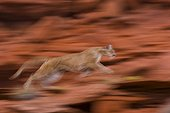 Mountain lion running - USA