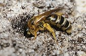 Mining Bee digging sand - Aquitaine France