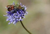 Cuckoo Wasp on sheep's-bit flower - Aquitaine France