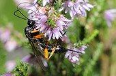 Ichneumon wasp on Heather - Northern Vosges France