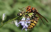 Hornet queen capturing a Honeybee - Northern Vosges