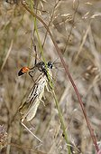 Prionyx catching a Grasshopper on a rod - Aquitaine France