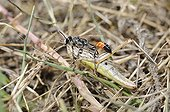 Prionyx catching a Grasshopper on grass - Aquitaine France