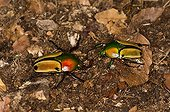 African Hairy Beetle (Eudicella colmanti) on moss