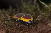 Congo Chafer on moss