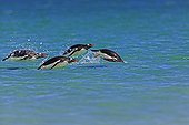 Gentoo penguins jumping into water - Falkland Islands