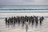 Gentoo pingouins ingoing  water - Falkland Islands