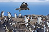 Striated caracara flying over Gentoo penguins - Falklands