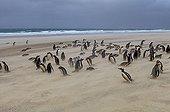 Gentoo penguins in a sandstorm - Falkland Islands