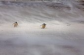 Gentoo penguins in a sandstorm - Falkland Islands