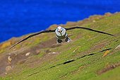 Black-browed Albatross landing - Falkland Islands