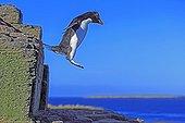Gorfou sauteur sautant d'un rocher - Iles Malouines