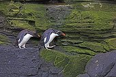 Gorfous sauteurs marchant sur rochers - Iles Malouines ; pour aller pêcher en mer