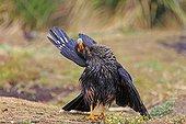 Striated caracara grooming on ground - Falkland Islands