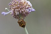 Chinch bugs on flowers - Auvergne France