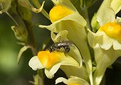 Mining Bee on Butter and eggs flower - France