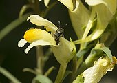 Mining Bee in Butter and eggs flower - France