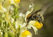 """Carder Bumblebee in Butter and eggs flower - France  ; The drone was guided by the """"indicator mark nectar"""" orange"""