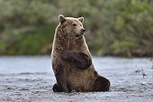 Grizzly sitting in a river - Katmai Alaska USA ; tab on chest