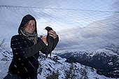 Banding Alpine Chough - Col de Bretolet Switzerland  ; Each year between 10 and 20 000 birds of 100 species are catch and rings at the Col de Bretolet, Valais, the Swiss Ornithological.
