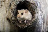 Hazel dormouse out of this nest - Normandy France