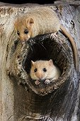 Hazel dormice out of this nest - Normandy France