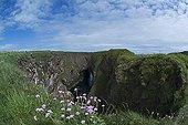 Arméries maritimes en fleur à Bullers of Buchan - Ecosse