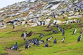 King Shags on moor - Falkland Islands  ; collecting grass to build their nests