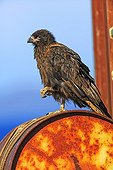 Striated Caracara on rusty drum - Falkland Islands