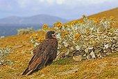 Striated Caracara and Sea cabbage flowers - Falkland Islands