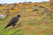 Striated Caracara walking on ground - Falkland Islands