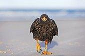 Striated Caracara walking on a beach - Falkland Islands