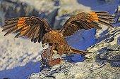 Striated Caracara in flight with algae - Falkland Islands