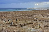 Magellanic penguins near their burrows - Falkland Islands