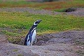 Magellanic penguin in its burrow - Falkland Islands