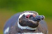 Magellanic penguin near its burrow - Falkland Islands