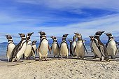 Magellanic penguins on a beach - Falkland Islands